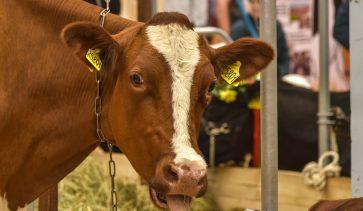 Грижа за телетата – от какво оборудване се нуждае всяка кравеферма?